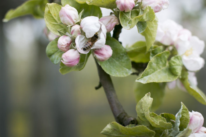 Apfelblüte mit hungrigem Besuch