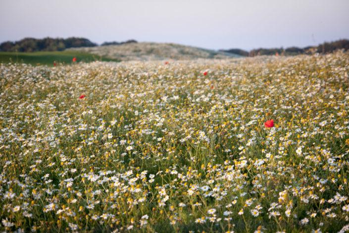 Blumenwiese auf Rügen